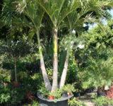 Adonidia Palm Tree Sunscape Nursery St. Petersburg