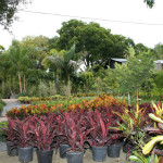 Every color and type of croton you could want!
